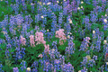 Blue and Pink Lupine