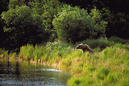 Brown Bear at the Oxbow